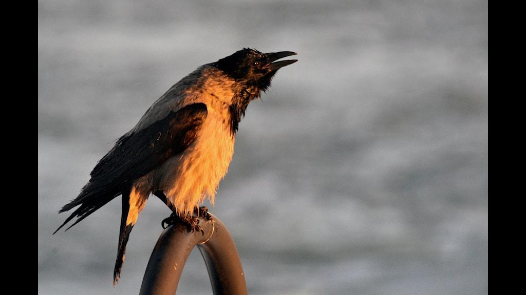 En våryster kråka som sjunger vackert ?