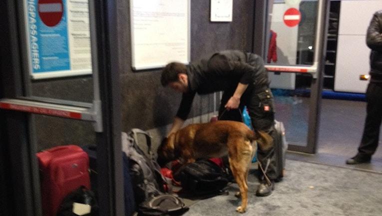 Hund går igenom bagage vid utgång på Bryssel S. Charleroi flygplats. Foto: Albin Norin