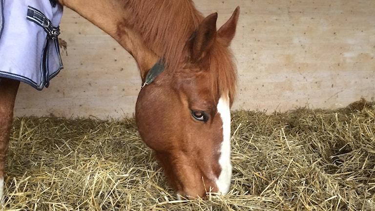 hästen Pitbull.