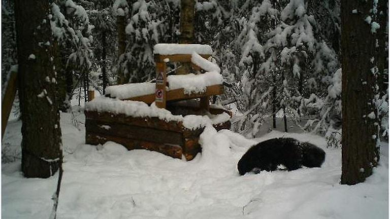 Järvhannen fångad på bild av en viltkamera i trakterna av Ånge. Foto: Sveriges Lantbruksuniversitet SLU