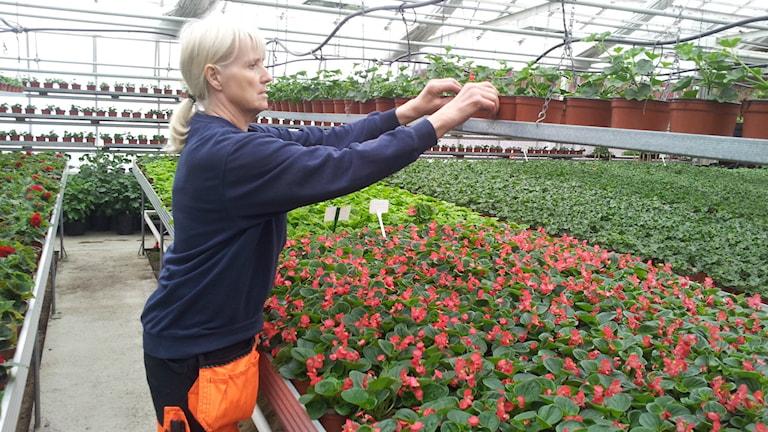 Birgitta Norberg ordnar med blommorna i det stora växthuset.