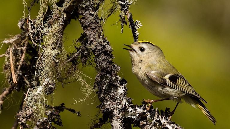 Kungsfågel fångad på bild i Vällingsjö urskog i Graninge. Foto: Fatima Boukarchid
