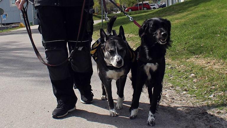 Två kopplade hundar går bredvid en person