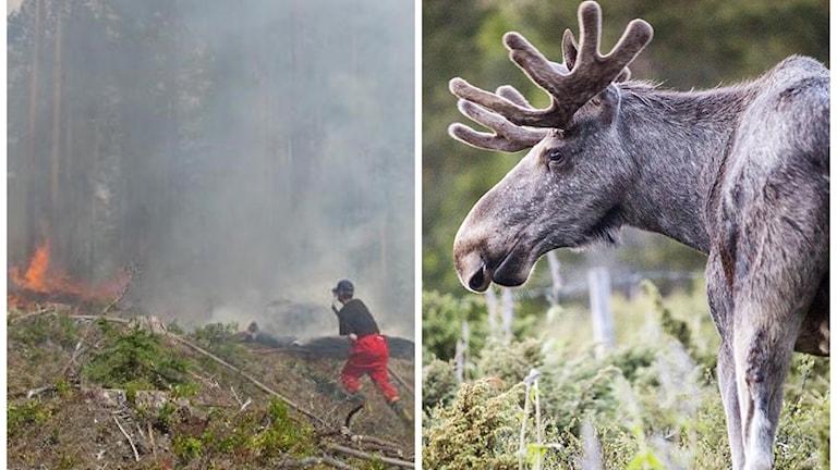 Skogsbrand och älg. Foto: Skogsbrand: Ulla Öhman, Älg: Kleiven, Paul/NTB scanpix