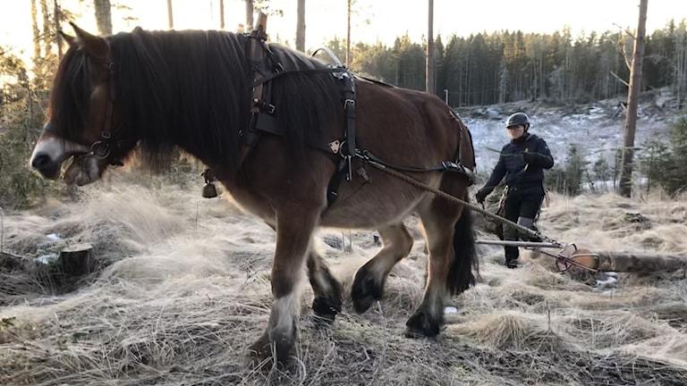 En mörkbrun nordsvensk brukshäst drar en timmerstock genom skogen, lotsad av en kvinna i mörk jacka.