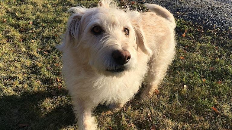 Hunden Arthur som bor i Örnsköldsvik