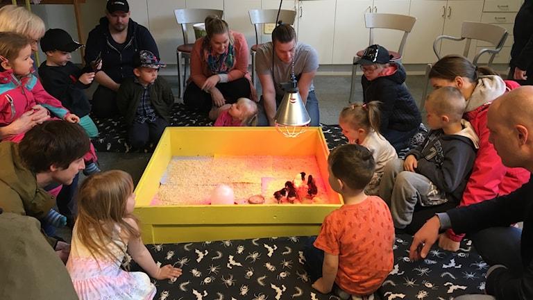 Barn och föräldrar tittar på kycklingar i en låda. Foto Ulla Öhman