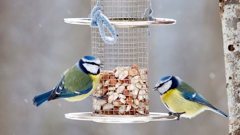 Blue tits at a bird feeder.