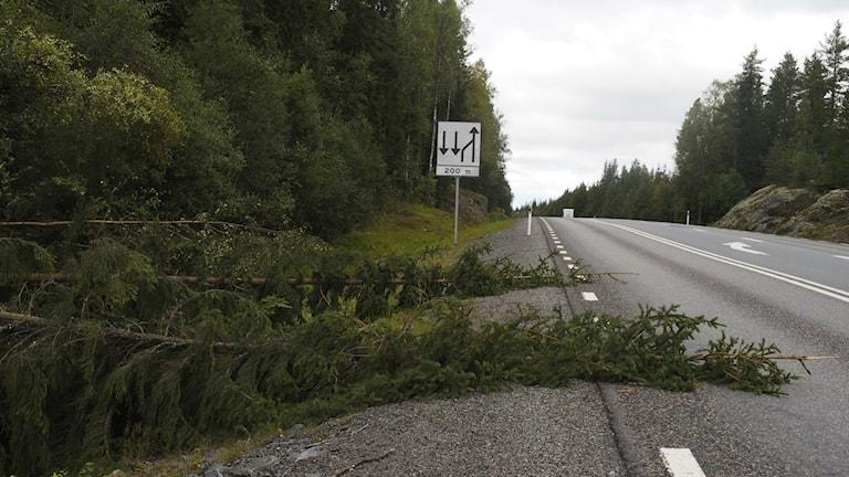 Omkullblåsta träd längs väg 90 mellan Sollefteå och Kramfors.