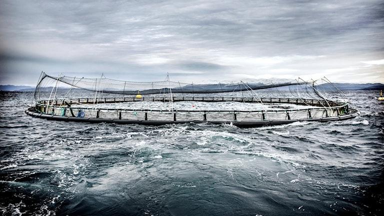 Laxodling i kasse på öppet hav i närheten av Haugesund i Norge. Foto: Tomas Oneborg/SvD/TT