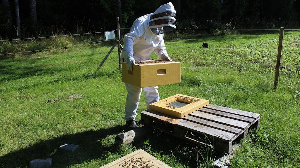 Biodlare har öppnat en kupa och sköter om bina