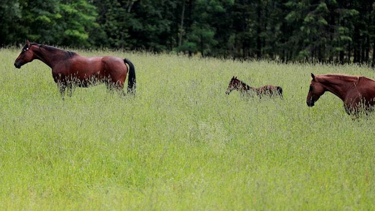 Två vuxna hästar och ett föl som går på en äng.