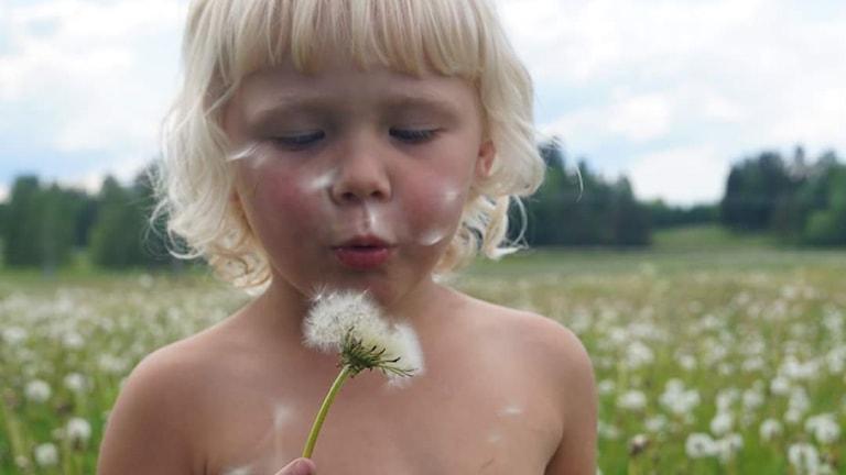 Astrid, snart 4 år, blåser på en maskrosboll och sprider sina önskningar.