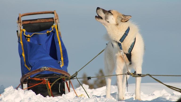 Grönlandshunden Leo ylar mot den klarblå himlen intill en blå hundsläde. Foto: Sandra Tellström/PRIVAT