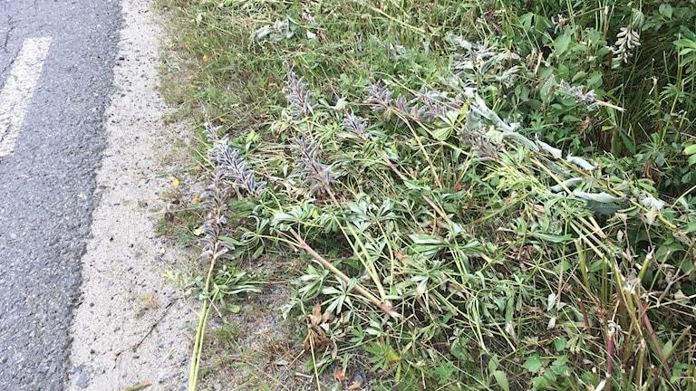 Idag slås lupinerna och får ligga kvar längs vägrenarna och kan sprida sina frön vidare.