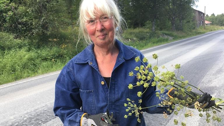 Kärstin Karlgren Björkland i Omne den sibiriska björnlokan har giftig växtsaft som kan orsaka frätskador så ordentliga handskar krävs.