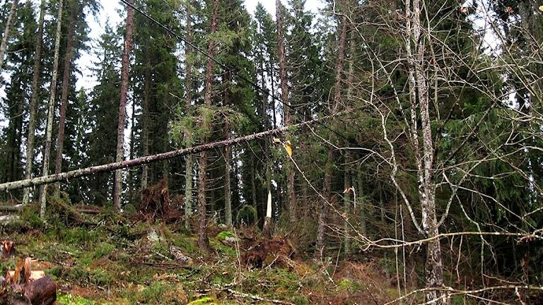 Ett träd har fallit ner på en elledning i skogen.