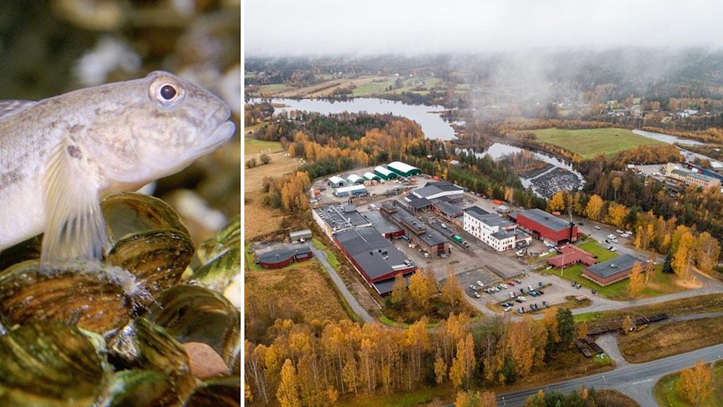 fisken smörbult och fabriken Permascand i Ljungaverk