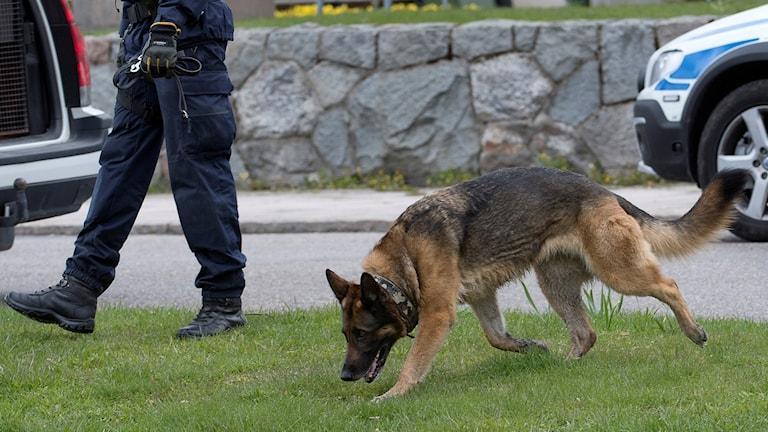 En polishund söker på en gräsmatta. Foto: Maja Suslin/TT