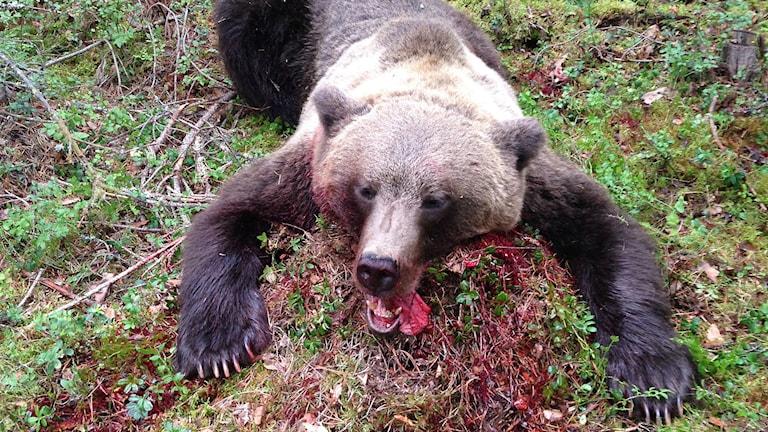 Björnhane på 146 kilo fälld av en pass-skytt i Fålasjö i Kramfors kommun. Foto: Privat