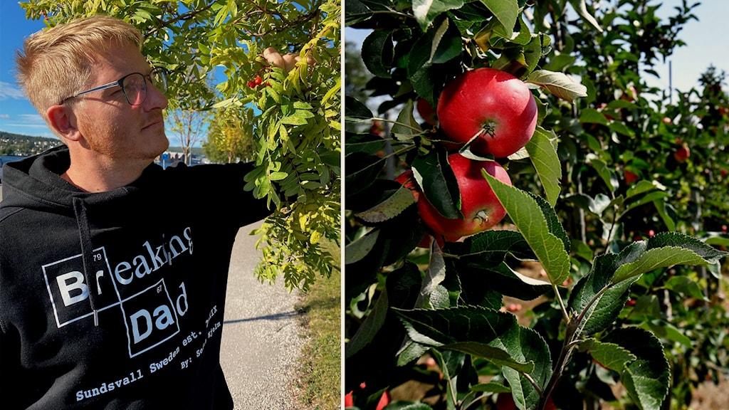 Daniel Lundqvist tittar på rönnbär i ett träd, bredvid en bild på röda äpplen på ett annat träd.