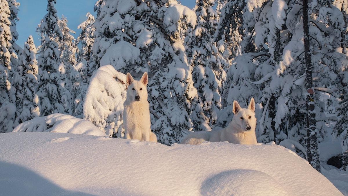 De två hundarna Nova och Guzzi (White Swiss Shepherd dogs) vilar i ett tjockt kristallvitt snötäcke på Visarberget strax utanför Själevad. Foto: Helen Thalén