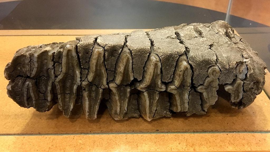 En gigantisk tand från en mammut. Okänd fyndplats. Foto: Ann-Charlotte Carlsson/Sveriges Radio