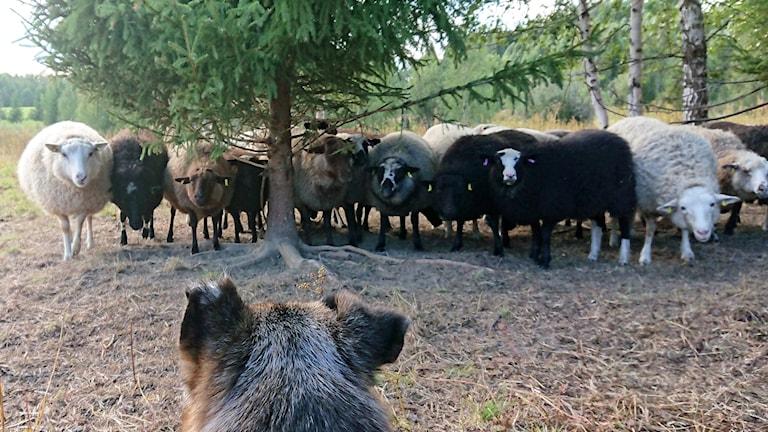 En fårflock under ett träd tittar på en ensam vallhund i förgrunden. Foto: Lina Westman/PRIVAT