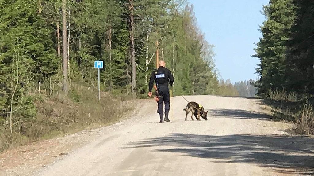 En polishund nosar på en grusväg i sökandet efter en försvunnen, dement man vid Bjässjön i Indal. Foto: Fredrik Birging/Sveriges Radio