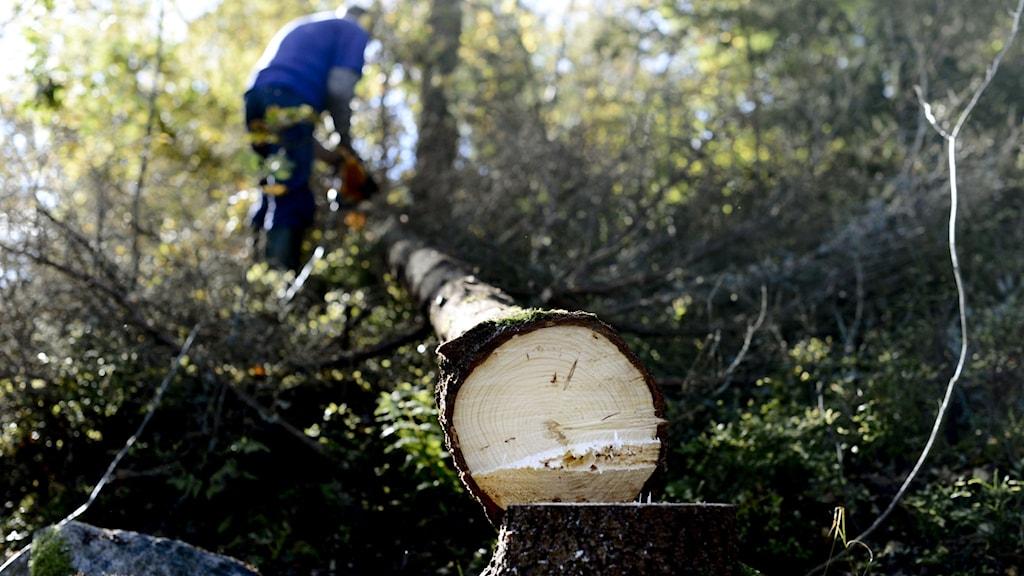 Skogsabete. En man rensar grenar med motorsåg efter att ha fällt en gran i skogen. Foto: Pontus Lundahl/TT
