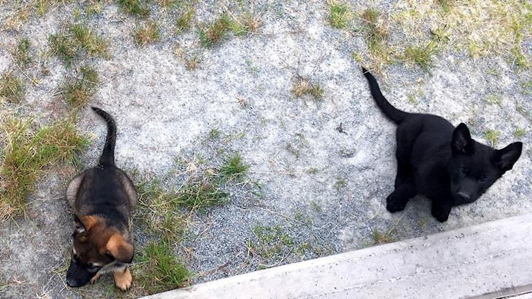 Två schäfervalpar i hundgården. En vanlig färgad schäfer och en helsvart. Foto: Anton Kårén/Sveriges Radio