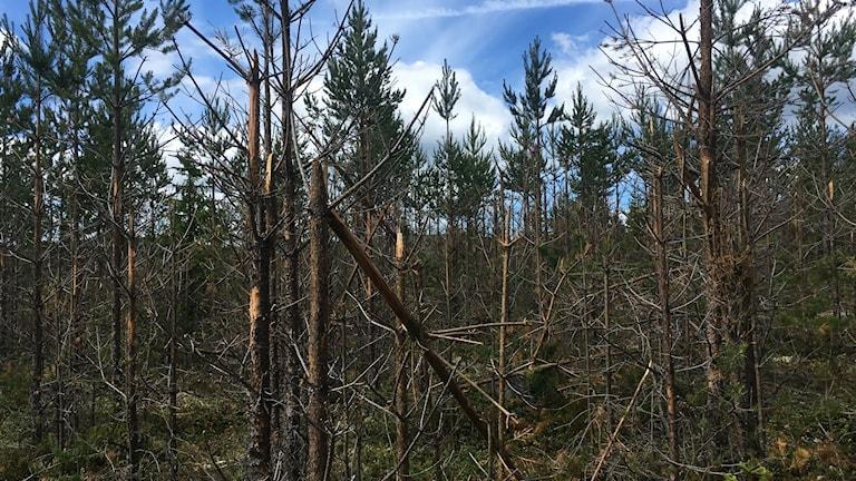 En älgbetat tallskog i Styrnäs
