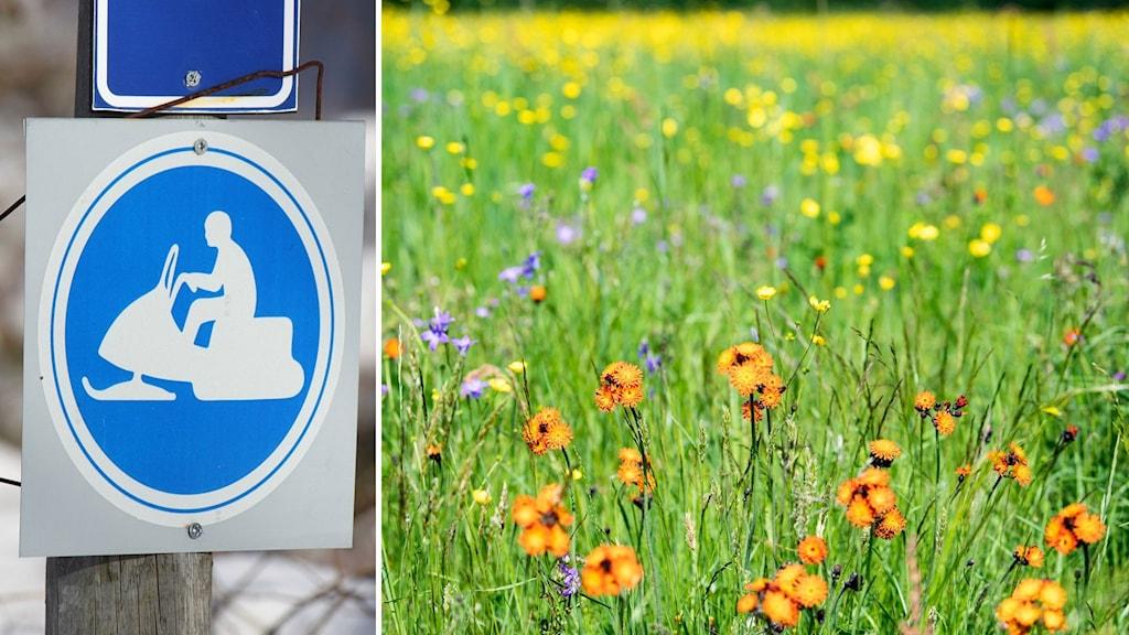 Bildkollage. Till vänster: En skylt för skoterled (man på skoter). Till höger: En äng med sommarblomster i gult, blått och orange. Foto: Lotta Löfgren/Sveriges Radio och Ulf Palm/TT