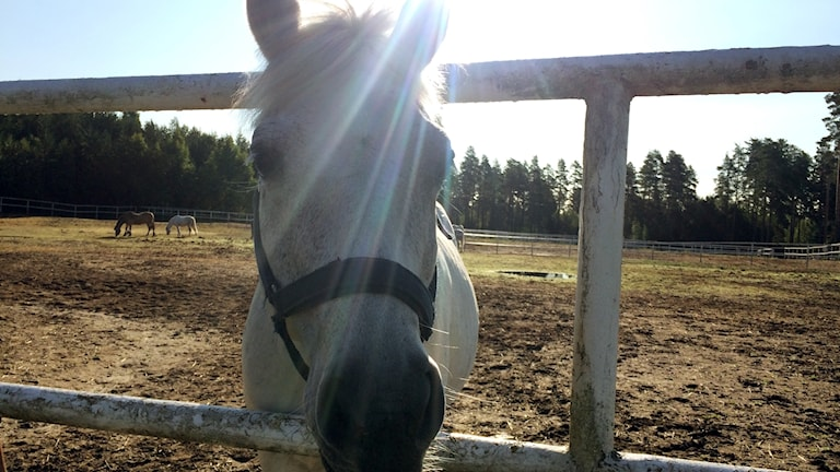 häst, ponny, hage