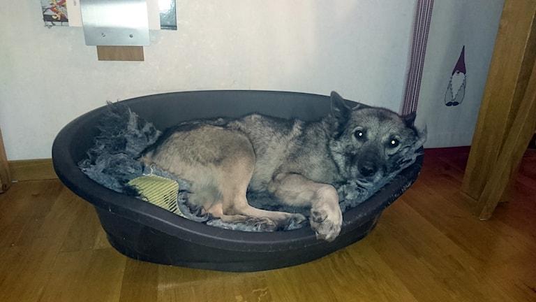 Gråhunden Dolly 10,5 år, hittades efter tre veckor på rymmen.