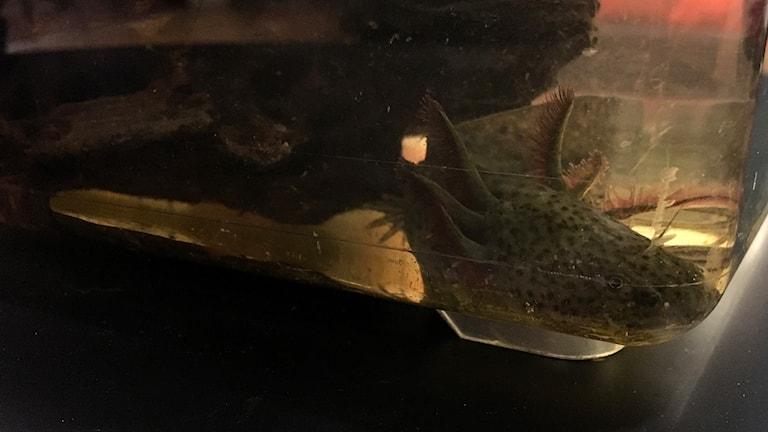 En av Anastasias axolotl har lagt sig i hörnet av akvariet. Foto: Ann-Charlotte Carlsson/Sveriges Radio