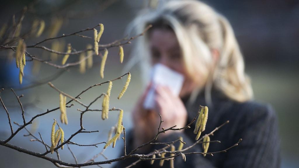 Allergisk kvinna snyter sig under björkpollensäsongen. Foto: Fredrik Sandberg/TT