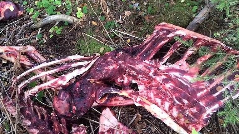 Ett kadaver förmodligen från en älg vid elljusspåret i Söråker. Foto: Andrietta Ogebrand