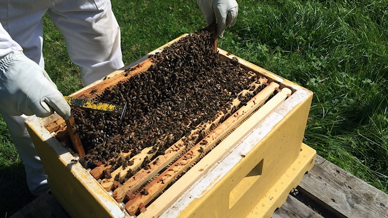 bin, biodling, biodlare, honungsbin, honung