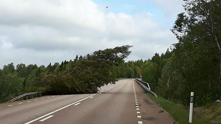 Ett träd som har blåst ner på länsväg 332, några km norr om Sandöbron i Kramfors kommun.