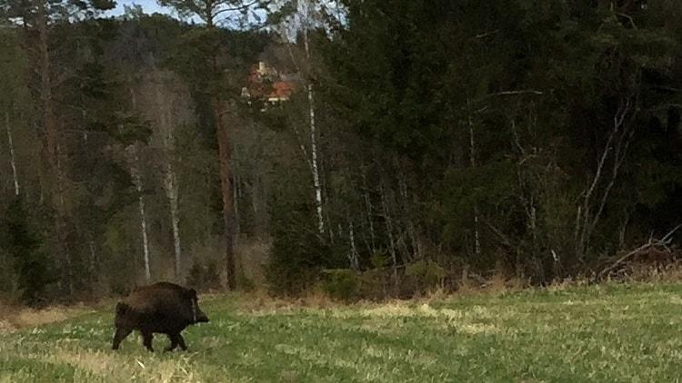 Ett stort vildsvin travar över ett fält mellan Torpshammar och Viskan med Boda Borg i bakgrunden. Foto: Pernilla Larsson