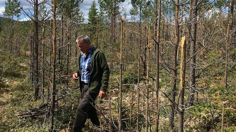 Göran Fahlén går i skog som är uppäten av älg.
