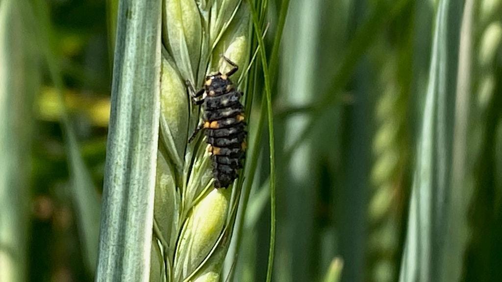 En svart nyckelpigelarv med orangea prickar sitter på ett korn-strå