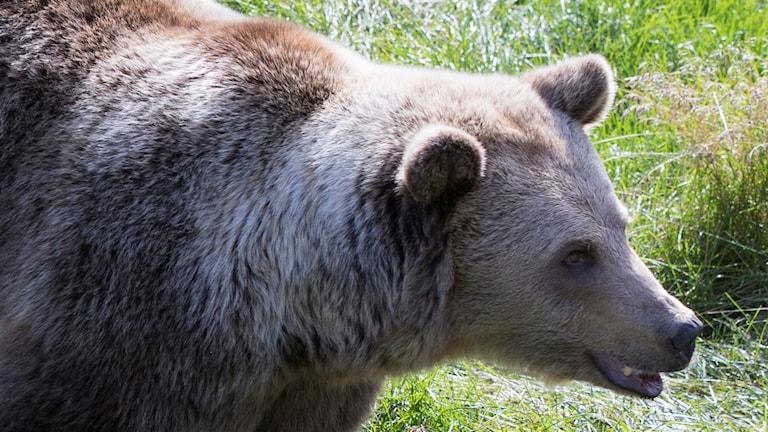 Närbild på en brunbjörn i en djurpark.