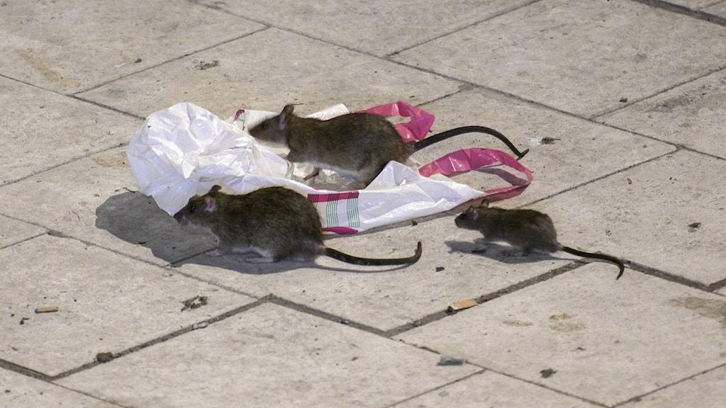 Tre råttor springer runt på en gata.