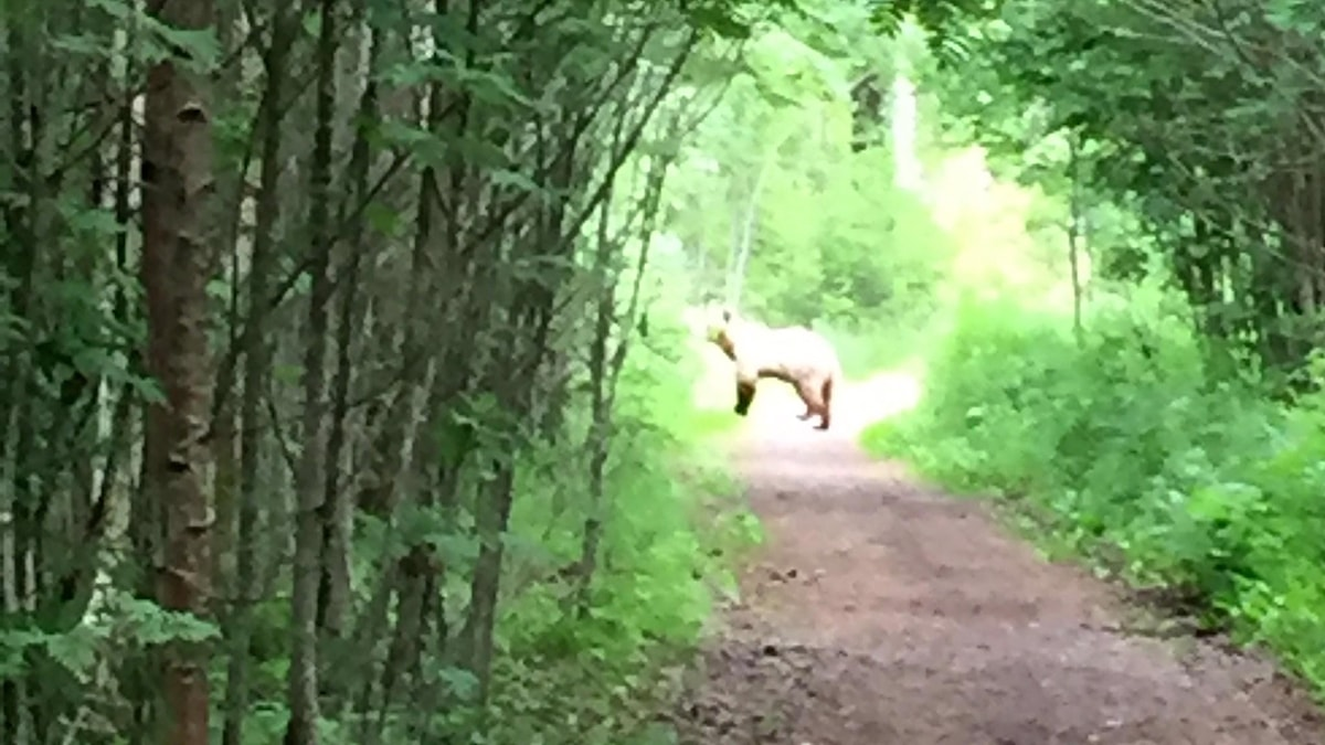 En björn står en bit bort på en skogsstig. Foto: Katja Lundberg/PRIVAT