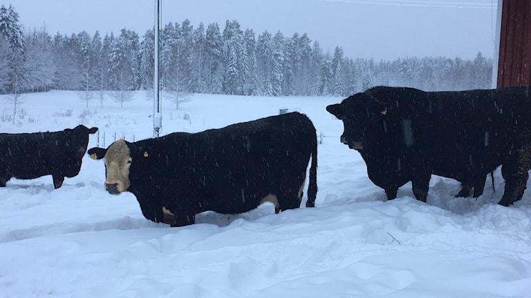 Två kor och en helsvart tjur på 1200 kilo går ut i hagen från det röda ladugården. Landskapet är vitt av snö och hundra meter bakom ladugården skymtas granskog som även den är alldeles vit. Foto: Ingrid Engstedt Edfast/Sveriges Radio