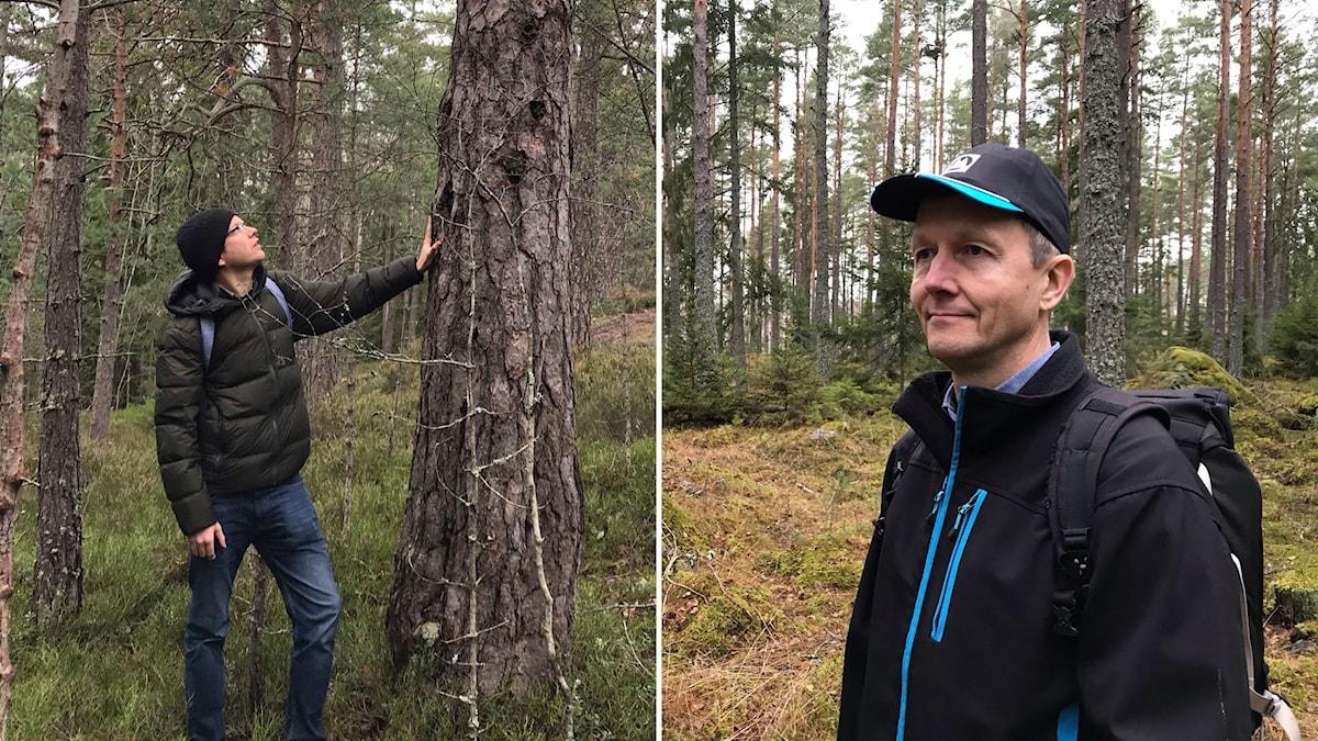 Anders Tranberg, ordförande i Stockholms Naturskyddsförening vid en flera hundra år gammal tall med hackspett-hål och bild på skogsägare