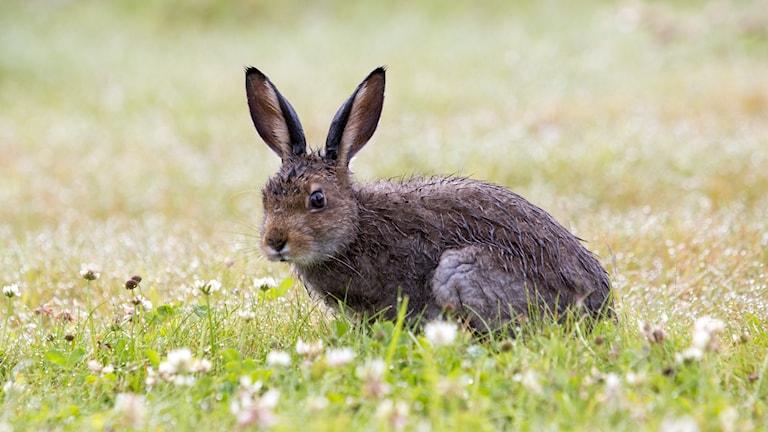 Hare. Foto Paul Kleiven/NTB scanpix