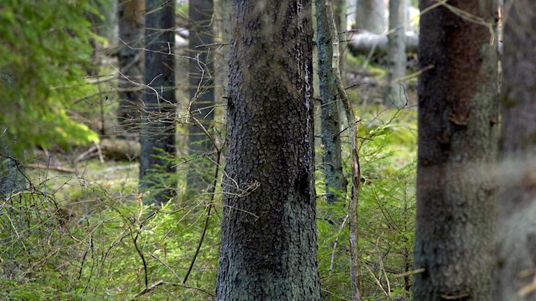 skog, trädstammar